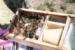 Beekeeper holding a small Nucleus with a young queen bee. Breeding of queen bees. Beeholes with honeycombs. Preparation for artifi. Cial insemination of queen stock images