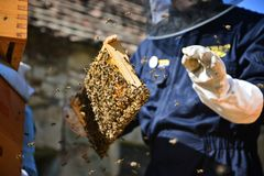 Beekeeper holding a wooden frame with bees. Beekeeping concept. Beekeeper is working in the apiary. Man holding a wooden frame with bees royalty free stock photography
