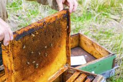 The beekeeper holds a honey cell with bees in his hands. Apiculture. Care and maintenance of bee hives in the apiary