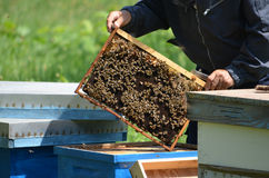 Beekeeper with honey comb Stock Image