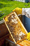 Beekeeper with honeycomb. Honeycomb with bees and honey Stock Photography