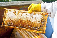 Beekeeper with honeycomb. Honeycomb with bees and honey Royalty Free Stock Photos