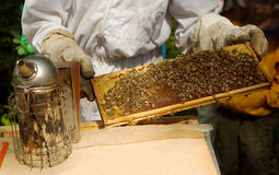 Beekeeper with honeycomb frame. A view of a beekeeper (apiarist) holding a honeycomb frame from a beehive over a table with a smoker nearby royalty free stock photos