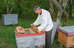 Beekeeper inspecting the beehive Royalty Free Stock Photo