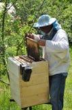 Beekeeper inspecting bees stock photo