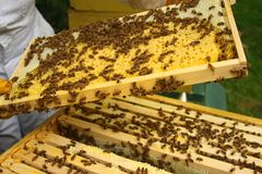 Beekeeper inspecting hive stock photography