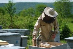 Beekeeper inspecting honeycomb frame at apiary at the summer day. Man working in apiary. Apiculture. Beekeeping concept. Beekeeper inspecting honeycomb frame at royalty free stock photo