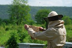 Beekeeper inspecting honeycomb frame at apiary at the summer day. Man working in apiary. Apiculture. Beekeeping concept. Beekeeper inspecting honeycomb frame at stock photo