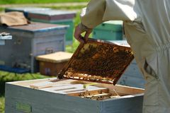 Beekeeper inspecting honeycomb frame at apiary at the summer day. Man working in apiary. Apiculture. Beekeeping concept. Beekeeper inspecting honeycomb frame at stock photos