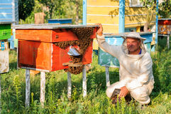 Beekeeper inspects the apiary hive of bees Stock Photo