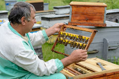 The beekeeper inspects a frame which raised new queen bees. Karl Jenter. Apiculture. Stock Photos