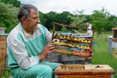 The beekeeper inspects a frame which raised new queen bees. Karl Jenter. Apiculture. The birth of a new queen of bees. Royalty Free Stock Images