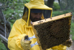 Beekeeper inspects honey comb Royalty Free Stock Images