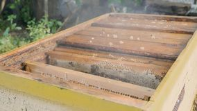 Beekeeper inspects honeycombs in a frame over the hive