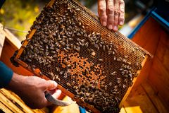 Beehive colony frame. Beekeeper introducing a new queen into a beehive colony frame, with bees swarming around. Care and harvesting honey Royalty Free Stock Images