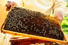 Beekeeper keeps bees honeycombs. Wax and propolis Royalty Free Stock Image
