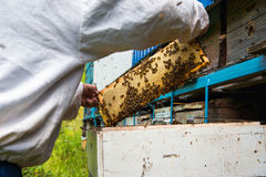 The beekeeper keeps a frame with honey sealed with wax Royalty Free Stock Photos