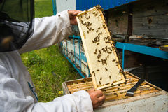 The beekeeper keeps a frame with honey sealed with wax Stock Photo