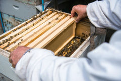 The beekeeper keeps a frame with honey sealed with wax Royalty Free Stock Photography