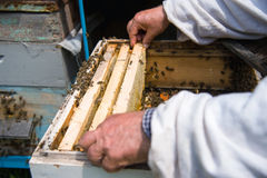 The beekeeper keeps a frame with honey sealed with wax Stock Image