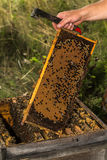 Beekeeper keeps fully honeycomb of honey Stock Photography