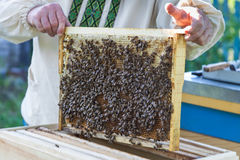 Beekeeper keeps honeycomb with bees. Beekeeper in apiary keeps honeycomb with bees Stock Images