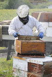 Beekeeper Lifting Frame. A Beekeeper lifts the honey frame from a man made beehive box Royalty Free Stock Photos