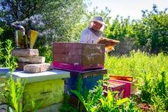 Apiarist, beekeeper is checking bees on honeycomb wooden frame. Beekeeper is looking swarm activity over honeycomb on wooden frame, control situation in bee stock photos