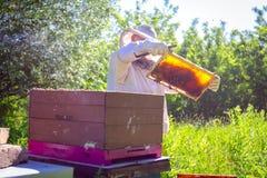 Apiarist, beekeeper is checking bees on honeycomb wooden frame. Beekeeper is looking swarm activity over honeycomb on wooden frame, control situation in bee stock photo