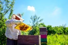 Apiarist, beekeeper is checking bees on honeycomb wooden frame. Beekeeper is looking swarm activity over honeycomb on wooden frame, control situation in bee royalty free stock photo