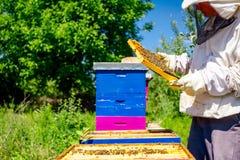 Apiarist, beekeeper is checking bees on honeycomb wooden frame. Beekeeper is looking swarm activity over honeycomb on wooden frame, control situation in bee stock images