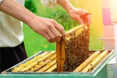 The beekeeper looks at the bee in the hive. The beekeeper looks at the bee in the hive Royalty Free Stock Photo