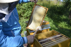 Beekeeper making fresh golden honey bees healthy Royalty Free Stock Images
