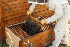 Beekeeper pulls out from the hive a wooden frame with honeycomb. Collect honey. Beekeeping concept.  stock photo