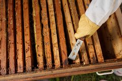 Beekeeper pulls out wooden frame with honeycomb from beehive using beekeeper tool. Collect honey. Beekeeping concept.  stock images