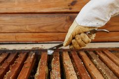 Beekeeper pulls out wooden frame with honeycomb from beehive using beekeeper tool. Collect honey. Beekeeping concept.  stock photo