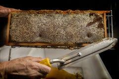 Beekeeper removed beeswax Stock Photos