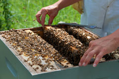 Beekeeper Removing Honeycomb From Bee Colony Royalty Free Stock Images