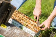 Beekeeper Removing Honeycomb Frames From Crate Royalty Free Stock Photography