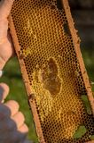 Beekeeper showing honeycomb frame Royalty Free Stock Image