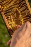 Beekeeper showing honeycomb frame Stock Photography