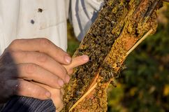 Beekeeper showing honeycomb frame Stock Photos