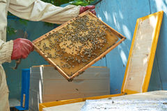 Beekeeper shows frame Stock Images