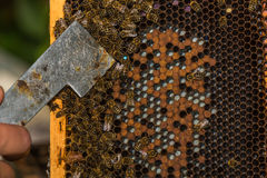 Beekeeper shows labeled bee queen with hive tool Stock Photography