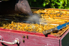 The beekeeper smokes the smoke of bees - drives away bees Royalty Free Stock Image