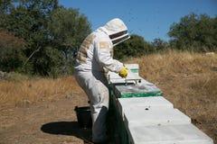 Beekeeper som arbetar på bikupor Arkivfoto