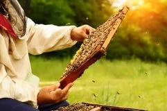 Beekeeper som rymmer en honungskaka full av bin Beekeeper i skyddande workwear som kontrollerar honungskakaramen på bikupan Arkivbild