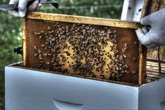 Beekeeper som tar bort hårkammen för kontroll Royaltyfria Foton