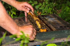 Beekeeper take out frame from the hive Stock Image