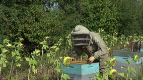 The beekeeper takes out a framework. Checking the condition of a framework stock video footage